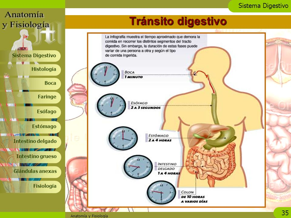 Sistema Digestivo. - ppt video online descargar