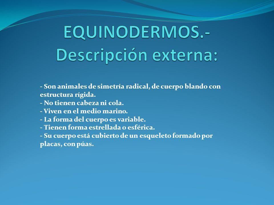 Equinodermos Descripción Externa Ppt Descargar