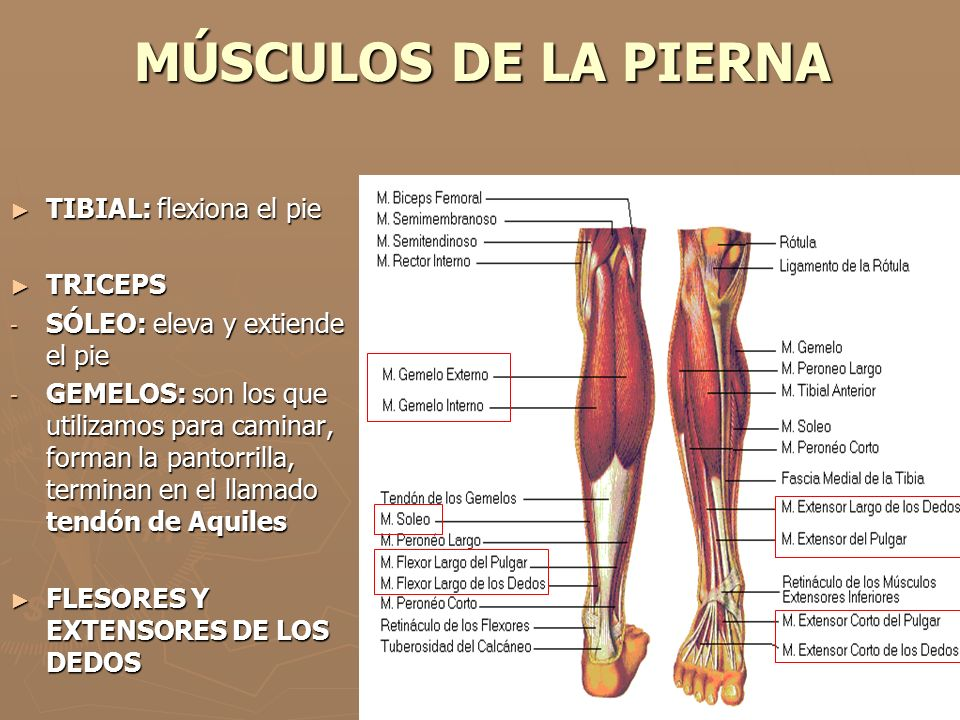 Vistoso Pierna Y Los Huesos Del Pie Composición - Anatomía de Las ...