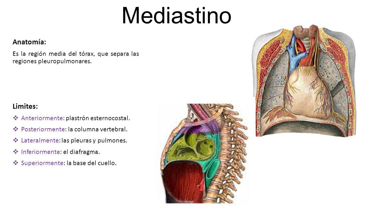 Excelente Mediastino Regalo - Anatomía de Las Imágenesdel Cuerpo ...