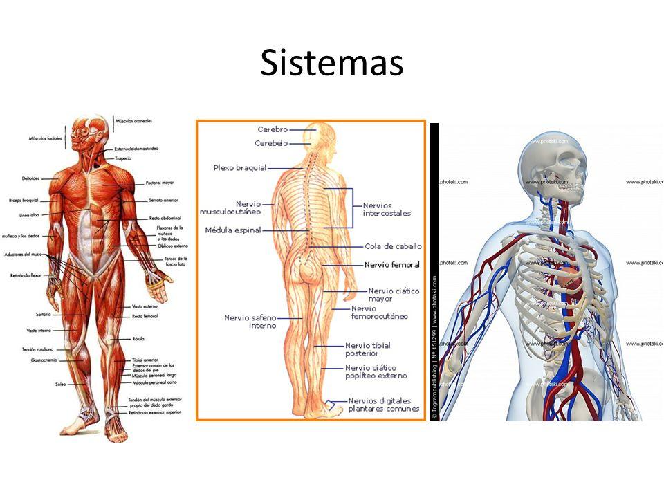 Anatomía Humana. - ppt descargar