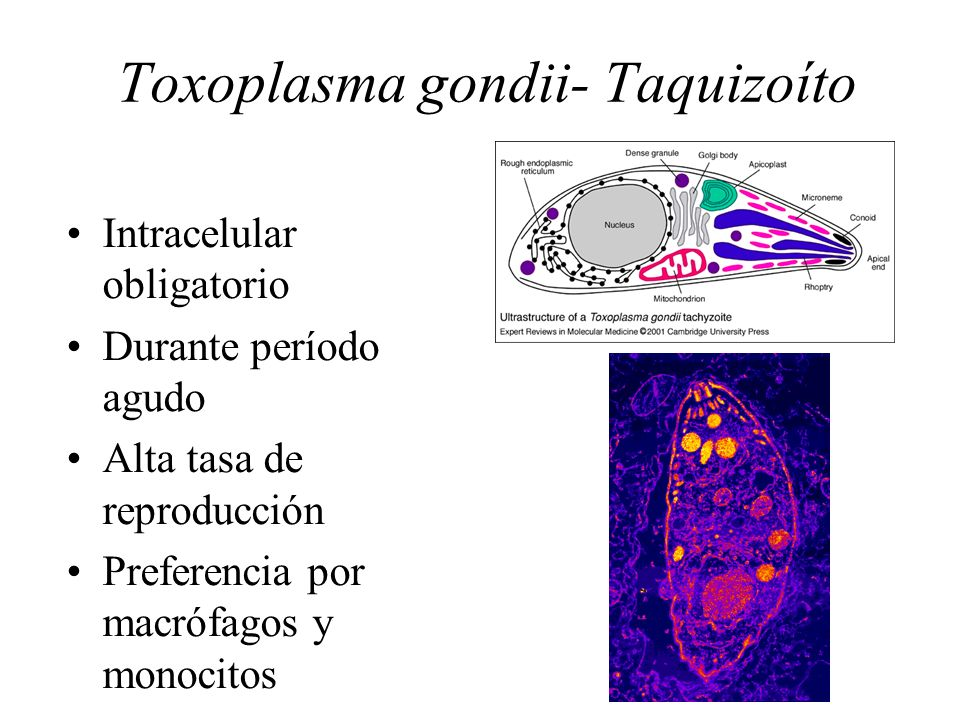 thesis on toxoplasma gondii Toxoplasma gondii are deadly parasites that infect millions of unknowing people around the world while causing anything from schizophrenia to abortions an article in the emerging infectious disease journal relates that t gondii is an intracellular parasite in the phylum apicomplexa (torrey and yolken 1375.