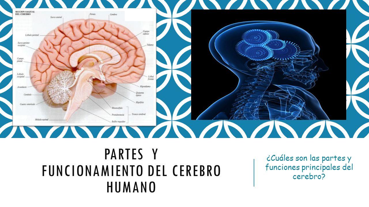 Partes Y Funcionamiento Del Cerebro Humano